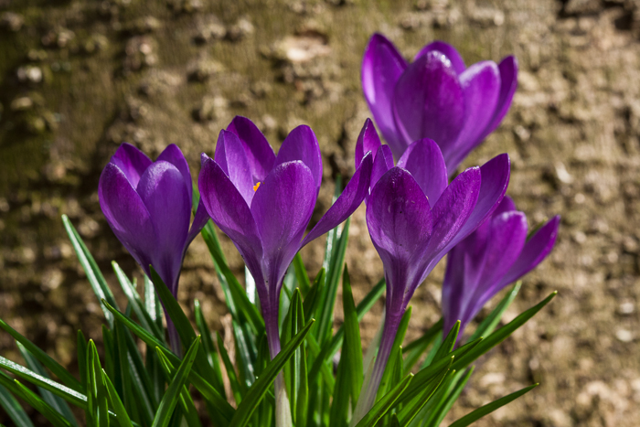 Crocus flowers in front of the trunk of a magnolia tree.