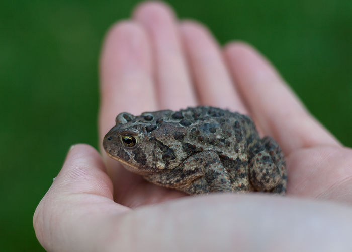 The kids found a toad living under the slide of the swing set in the back yard.  We moved him (her?) out of the way while we were playing.