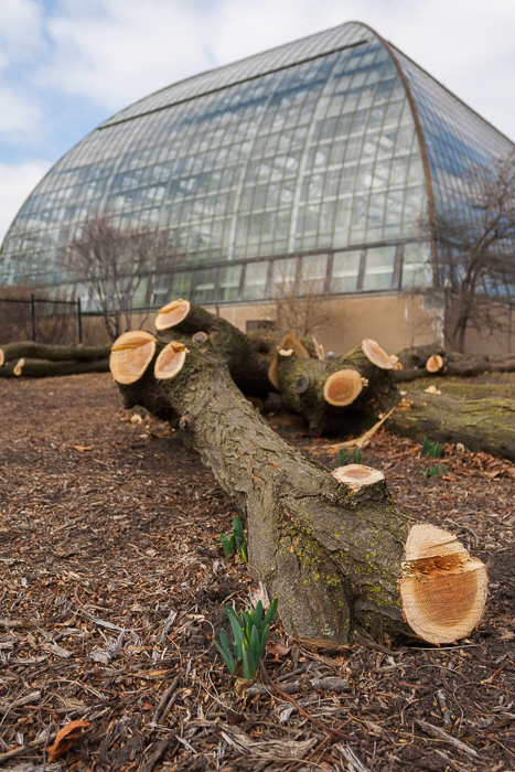 I was sad to see the large tree near Garfield Park Conservatory had been taken down. But nearby, spring growth emerges.