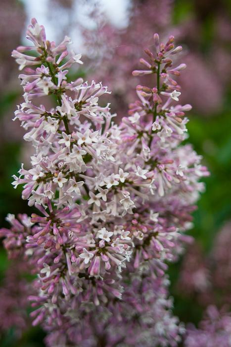 lilac (3)