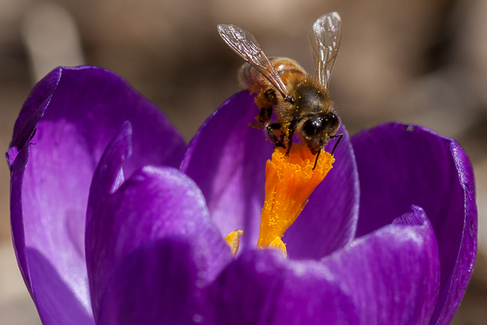 A bee visiting one of our newly opened crocus flowers. Crystal Lake, IL