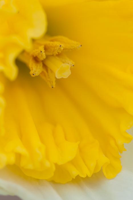 daffodil - spring 2013