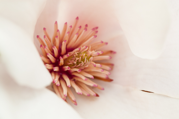 Detail of the interior of one of our magnolia blossoms.