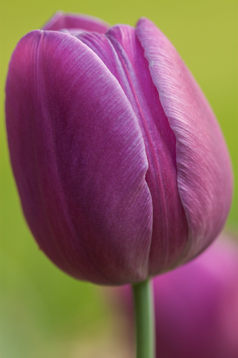 One of our purple tulip flowers.