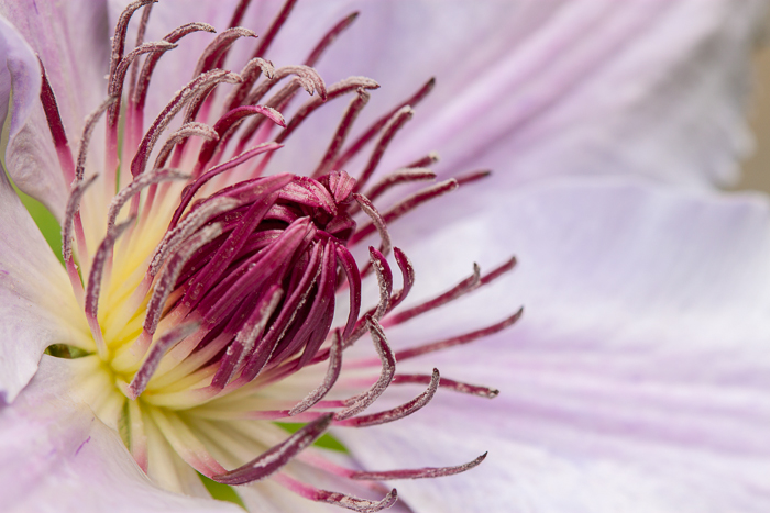 Our clematis flowers have been blooming.