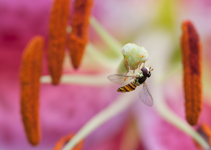 A small fly on the stigma of a stargazer lily flower.