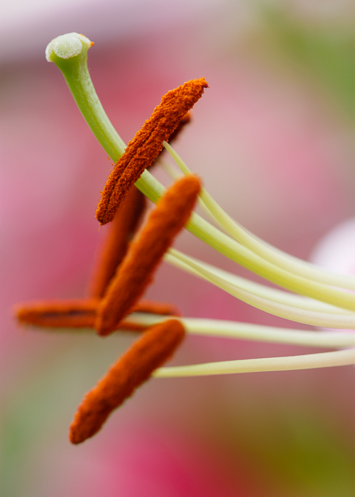 stargazer lily flower detail