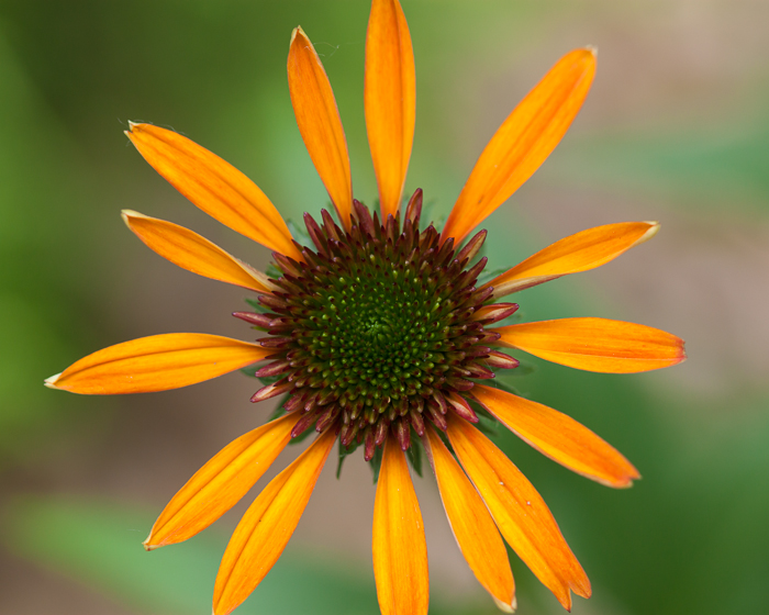 One of the cone flowers that Heather planted last year bloomed for the first time.