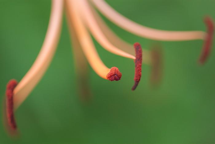 Michigan Lily flower detail.