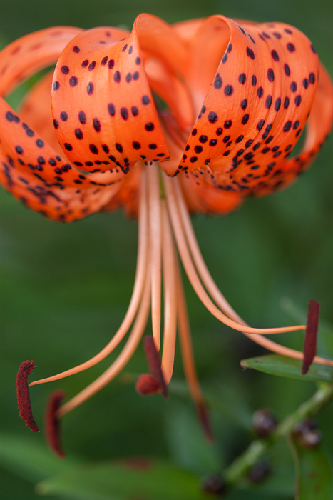 One of our Michigan Lily flowers.