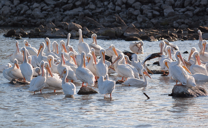 A group of American White Pelican's below the Red Rock Dam near Pella, Iowa.  (A group of pelicans is called a squadron.)