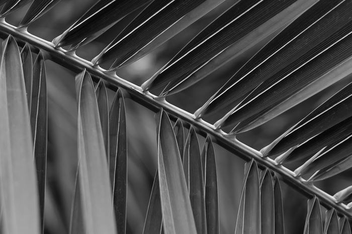 Palm branch at the Garfield Park Conservatory, Chicago, IL