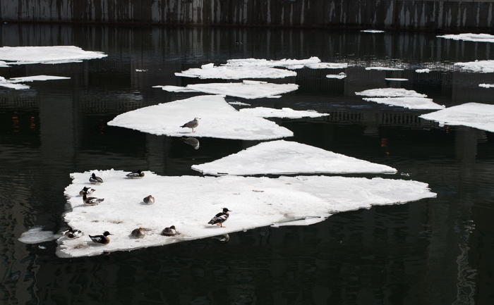 Birds hanging out on ice flowing down the Chicago River a few weeks ago.