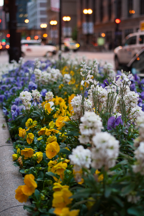 Planted flowers, Loop, near Chicago's City Hall.  Chicago, IL