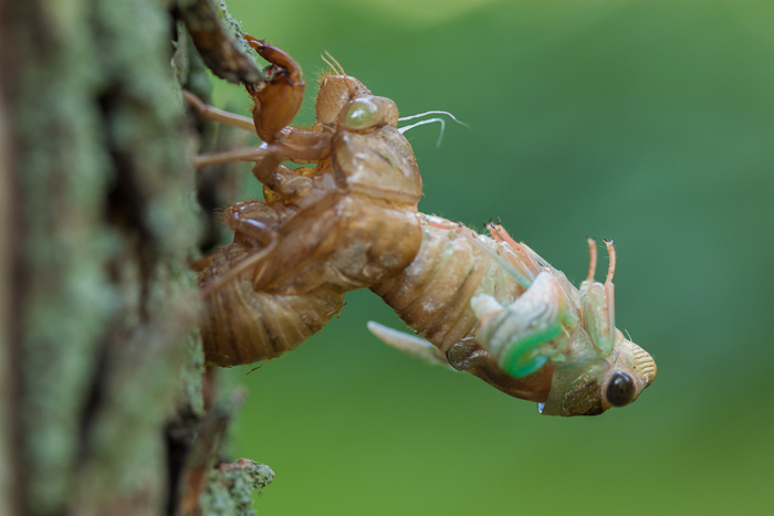 I found a cicada, that had not yet molted, on the ground while mowing on Saturday.  So I moved it to a nearby tree and watched it molt. It was quite amazing.