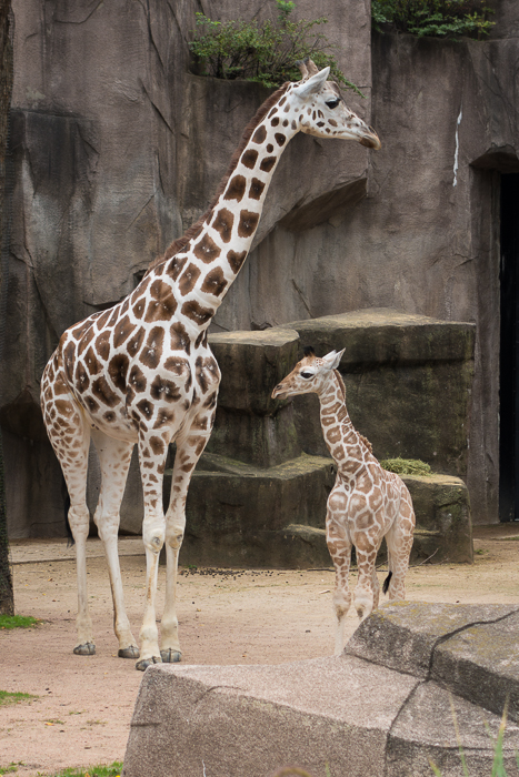 Baby giraffe with mother at the Milwaukee County Zoo.  Photo by Heather